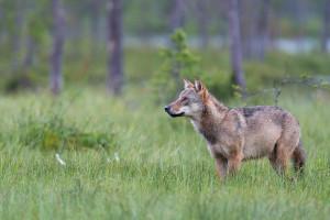 Freilebender Wolf