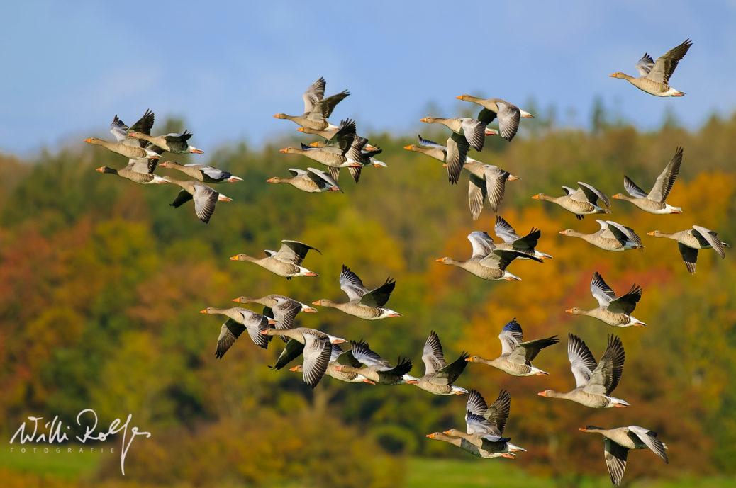 Schwarm fliegender Graugaense