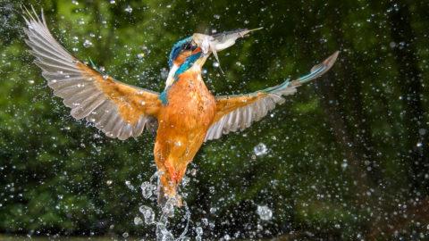 Fischender Eisvogel gewinnt Fotowettbewerb