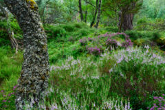 Wald im schottischen Cairngorms National Park